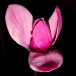 Magnolia พยานแห่งความสุขและเศร้า