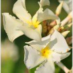 โมกหอม ~~ Chonemorpha fragrans