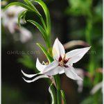 มยุเรศ ++ Gladiolus callianthus