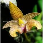 สิงโตเจ้าฟ้าเพชรรัตน์ ++ Bulbophyllum 'Princess Bejaratana'