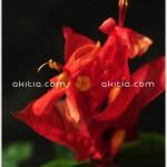 แดงอเมซอน ++ Ruellia colorata